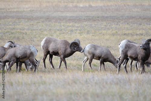 Photo  Rocky Mountain Bighorn Sheep, Montana
