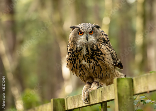 Staande foto Uil UK, Sherwood Forrest, Nottinghamshire Birds of Prey Event - Eurasion Eagle Owl,sitting on a fence in the forest
