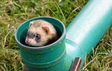A Ferret Peers Out Of A Pipe, ...