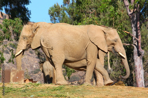 Photo  Two Elephant Mothers & Newborn Calf