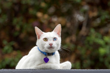 White Cat Wearing A Blue Colla...