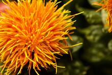 Close-up View Of A Single Pretty Orange Pom-pom Centaurea Flower