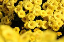 菊 黄色 水滴