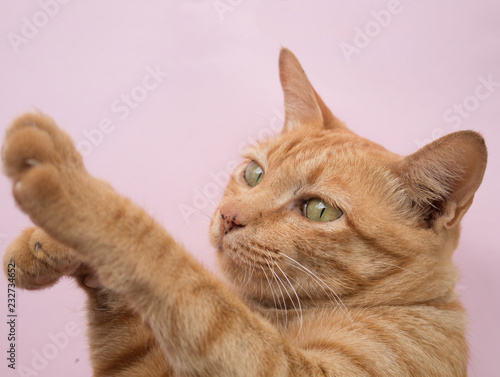 Fotografía  Cute Ginger tabby cat on Pink background