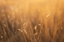 Fescue Grass Field At Sunset