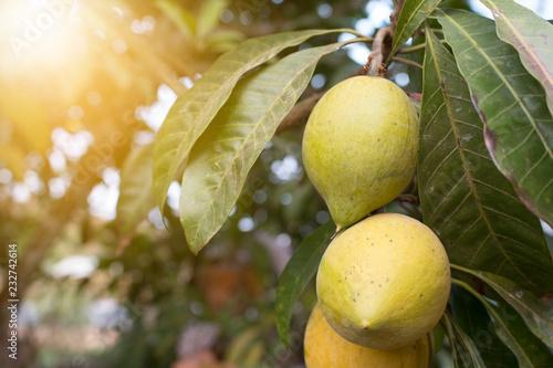 Canistel fruit - 232742614