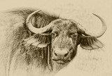 Portrait of  african buffalo close-up.  Vintage style - 232746221