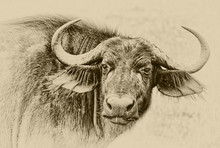 Portrait Of  African Buffalo C...