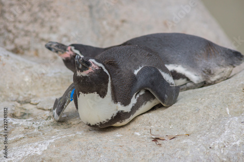 Spoed Foto op Canvas Pinguin ケープペンギン ペンギン Spheniscus demersus