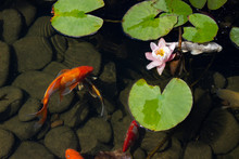 Koi Carp Fish Swims Among Water Lily In The Water