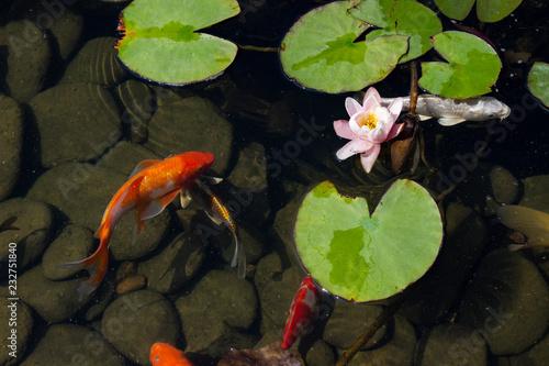 Valokuvatapetti Koi Carp Fish swims among water lily in the water