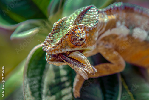 Spoed Foto op Canvas Kameleon Chameleon hunts insects in the wild nature of Madagascar