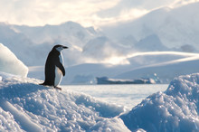 Chinstrap Penguin On Ice In An...