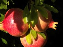 Gajo Precioso Fruta Granada Po...