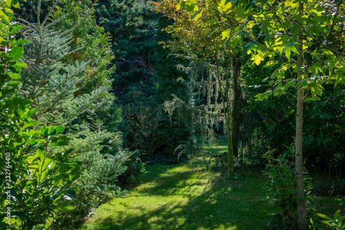Evergreen Landscape Of The Garden Fir Abies Koreana Silberlocke