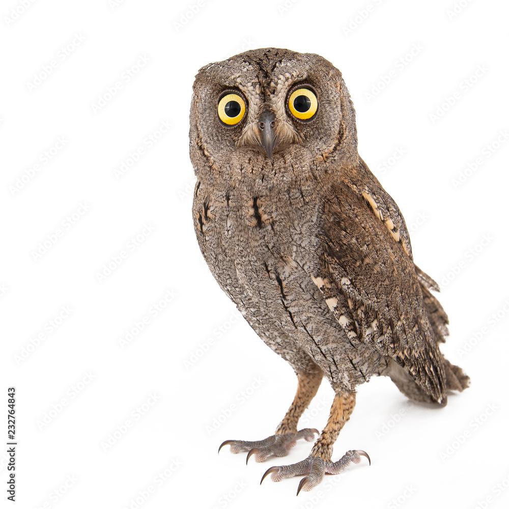 Fototapety, obrazy: European scops owl (Otus scops) isolated on white background