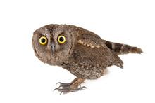 European Scops Owl (Otus Scops) Isolated On White Background