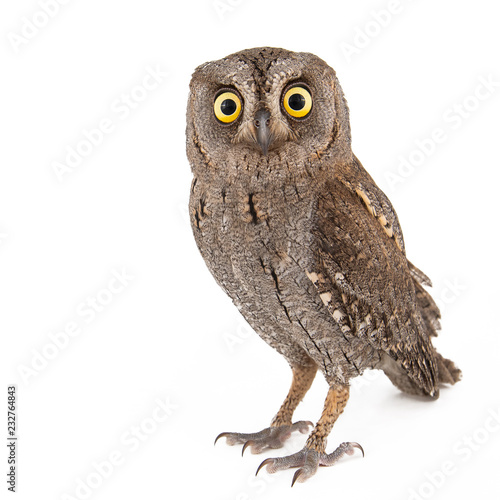 Deurstickers Uil European scops owl (Otus scops) isolated on white background