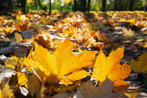 Fallen yellowed leaves on the blurred background