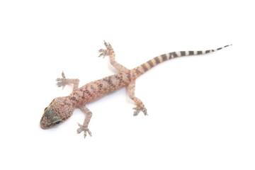 Mediterranean house gecko (Hemidactylus turcicus) on white