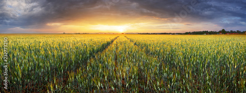 Fotografía Landscape with wheat field, agriculture - panorama