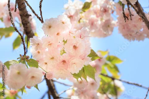Fotografie, Obraz  Double cherry blossoms in full bloom - Spring of Japan -