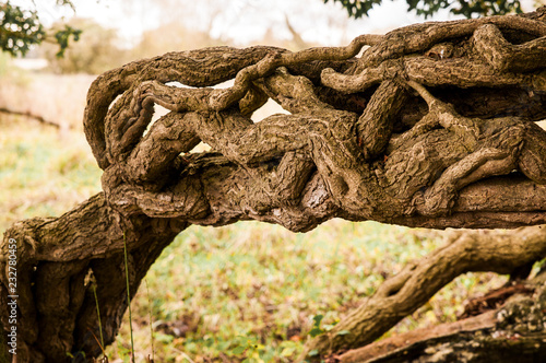 Fotografie, Obraz  Twisted tree trunk and ivy