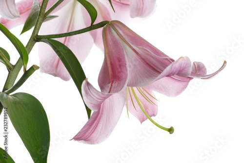 Stampa su Tela Branch of tender pink lilies isolated on white background.