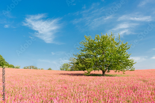 Blooming field of the rolling hills of Orcia Valley, Siena province, Tuscany, Italy