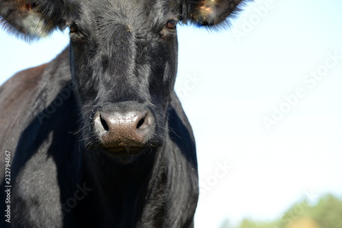 Foto  Kuhmaul. Portrait einer schwarzen Angus Kuh