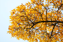 Golden Leaves In Autumn Park