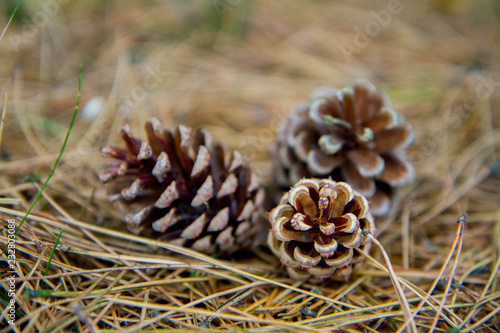 The pine tree cones fallen from a tree on the ground