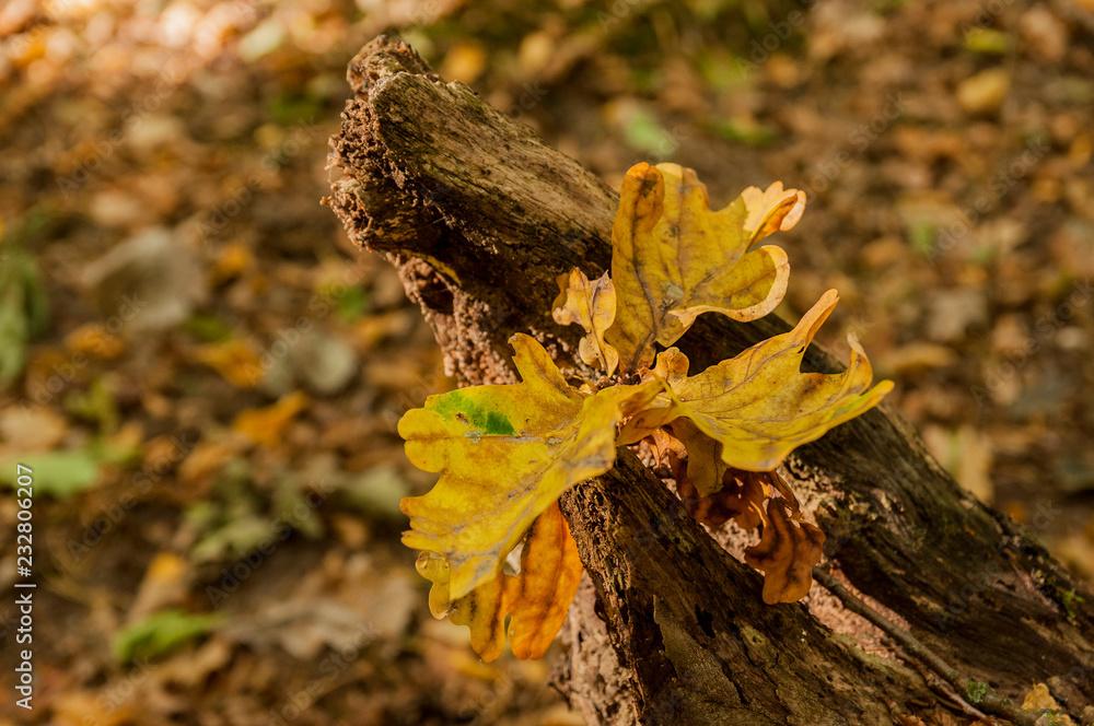 Fototapeta Jesienny kolorowy liść