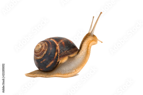 Snail isolated on white Canvas Print