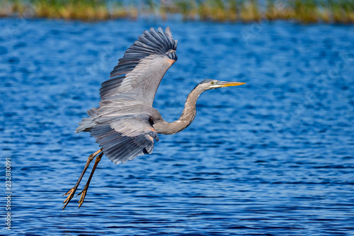 Fotografie, Obraz  Great Blue Heron