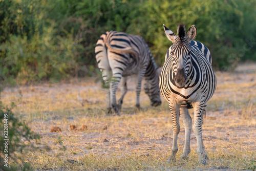 In de dag Zebra Zebras im Busch am Chobe River, Botswana