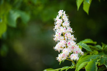 Closeup Of White Flower Or Candle Of The Common Horse-Chestnut Tree. Tree Named Aesculus Hippocastanum.