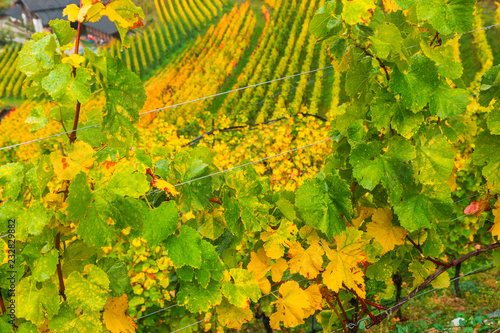Picturesque autumnal view on rows of colourful vineyards in