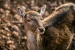 Portrait of cute brown female of european fallow deer with yellow eyes looking up, blurry background with dry leaves on ground, sunny autumn day in a game park