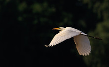 Great Egret(Ardea Alba) In Flight