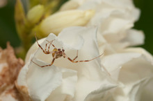 Crab Spider On White Flower