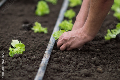 Planting lettuce sprouts lollo bionda in the greenhouse by
