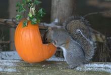 Gray Squirrel And Pumpkin
