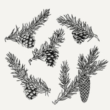 Vintage Pine Cone And Branches Element. Hand Drawn Winter Botanical Illustration For Holiday Decor.