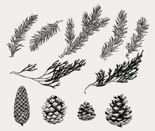 Botanical Illustration Of Wint...