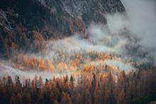 Mist In Autumn Orange Forest. ...