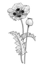 Poppy Flower And Seed Illustra...