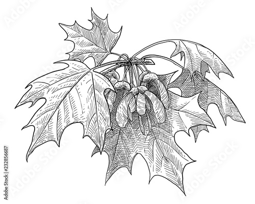 Fotomural Sugar maple illustration, drawing, engraving, ink, line art, vector