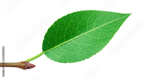 Pear leaf with stick isolated on a white background with clipping path. One of the best isolated pears leaves that you have seen.