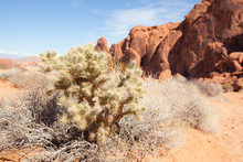 Buckhorn Cholla Cactus ,Cylind...